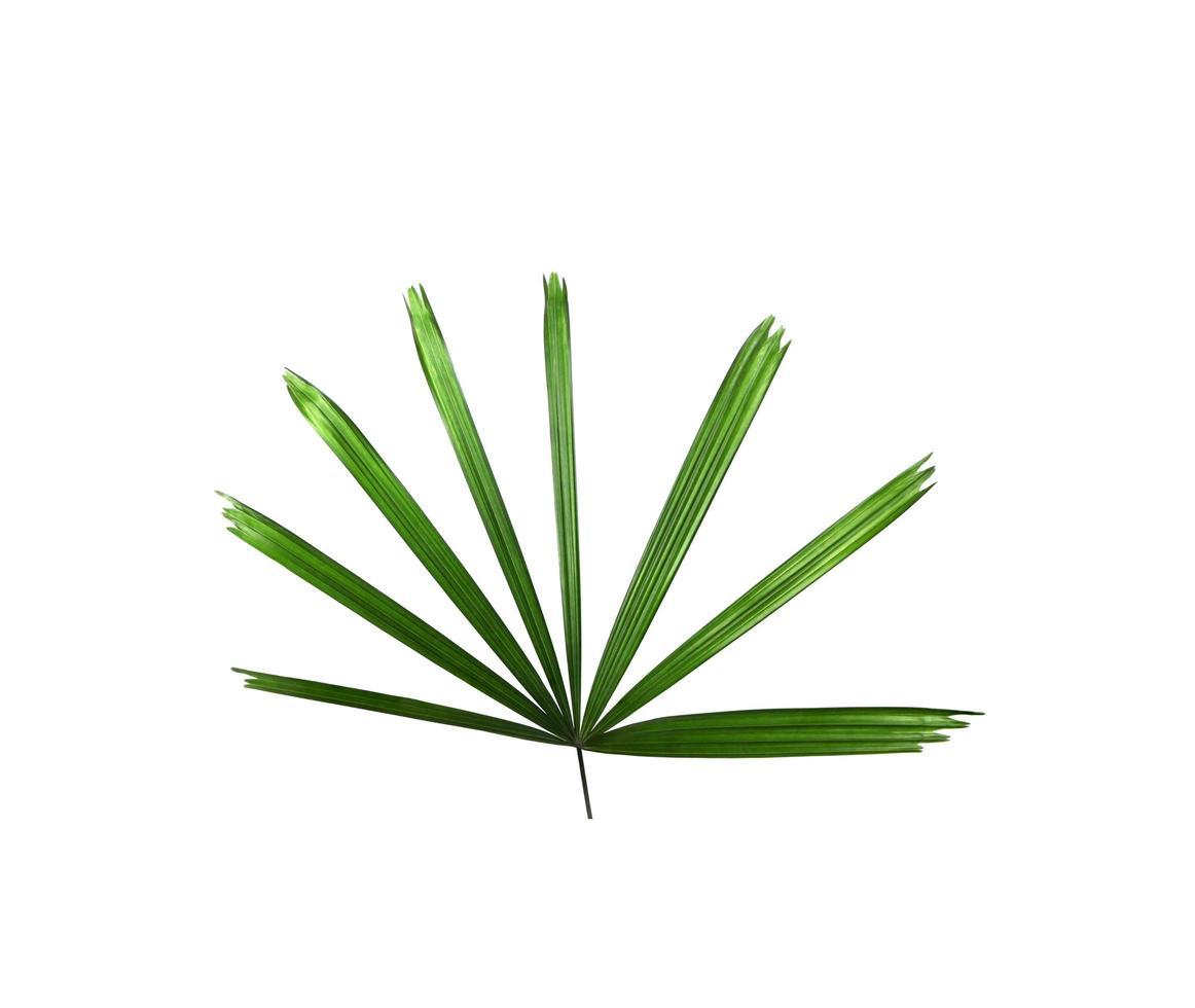 Hoja de palmera verde sobre un fondo blanco. foto