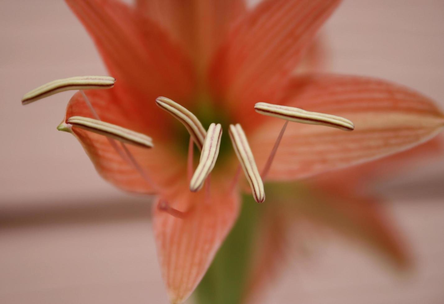 Red amaryllis flower photo
