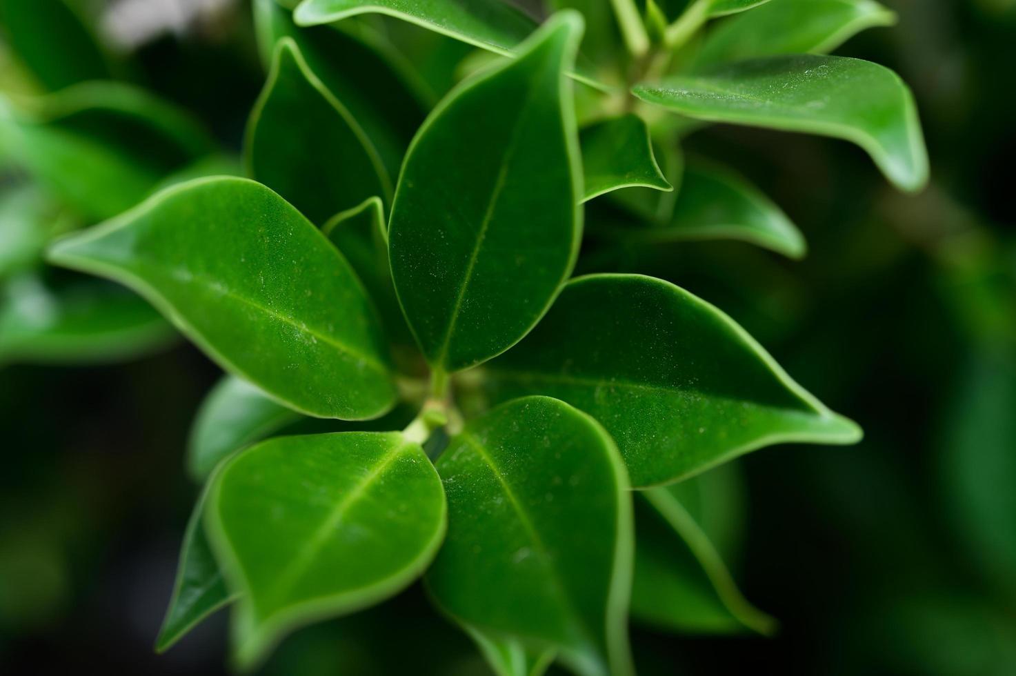 hojas de color verde oscuro para el fondo foto