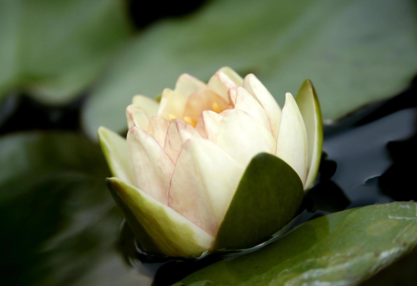 delicada flor de loto blanca foto