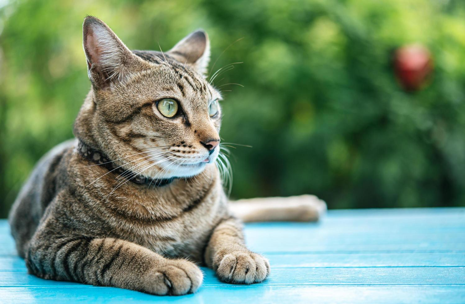 Close-up of a tabby cat on a blue surface photo