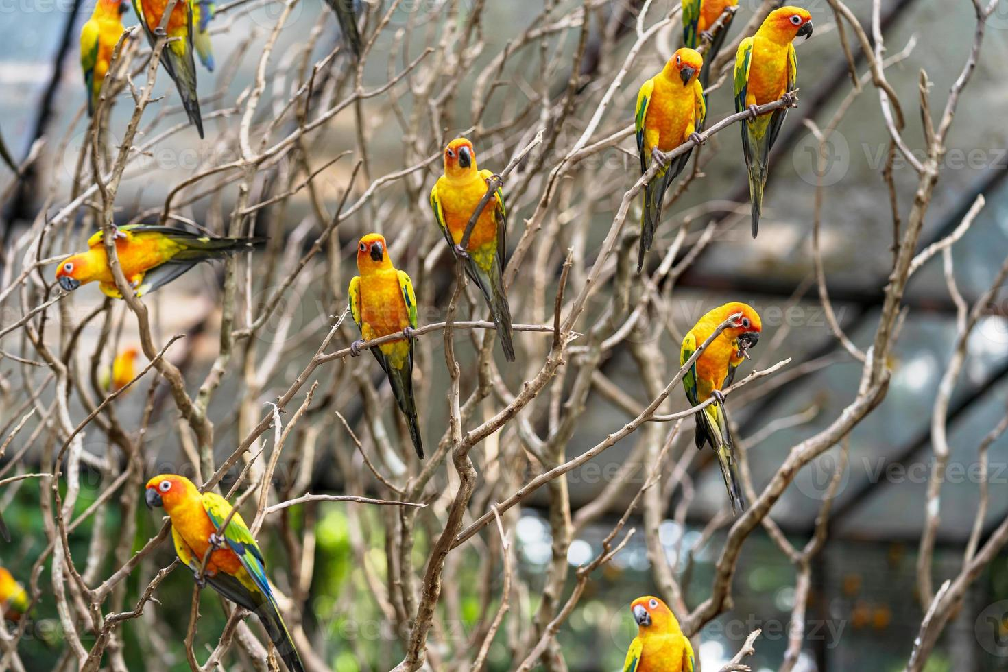 Group sun conure parrots in a tree photo