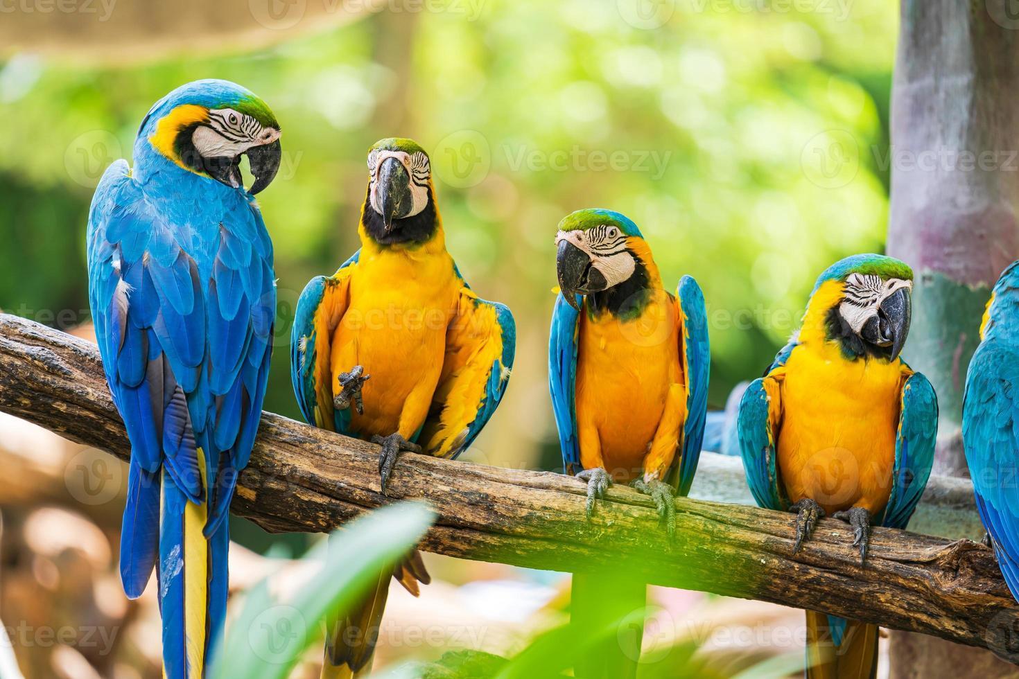 Colorful macaw parrots photo
