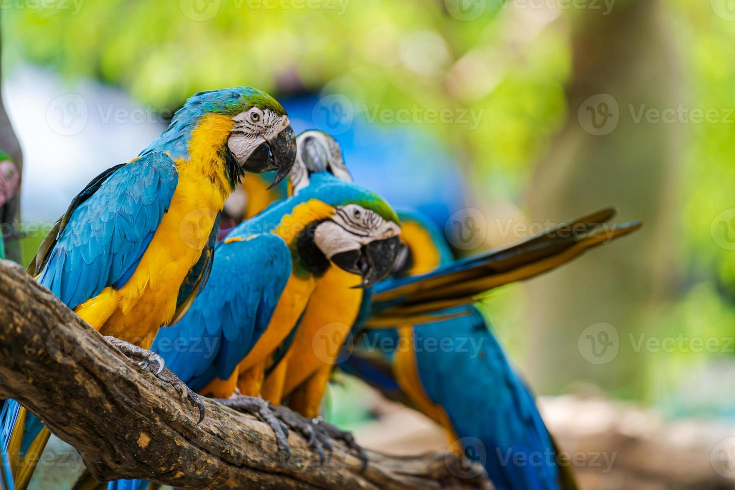 Blue, green and yellow macaws photo