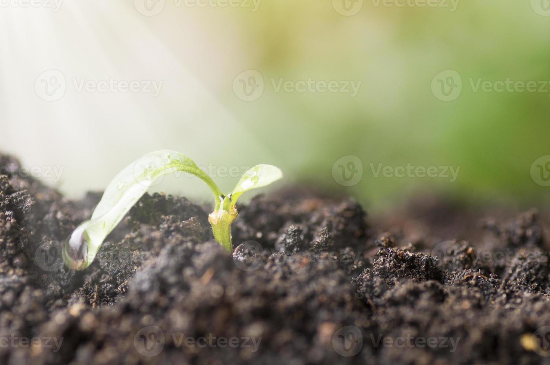 pequeña plántula que crece fuera del suelo foto