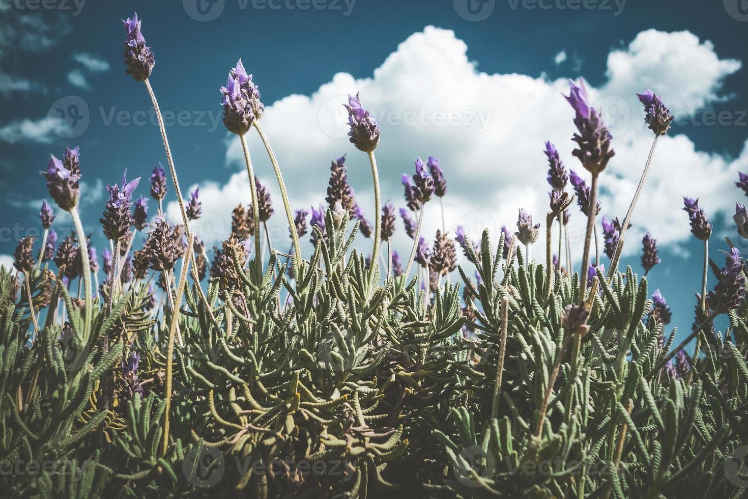 flores moradas de un arbusto de lavanda foto