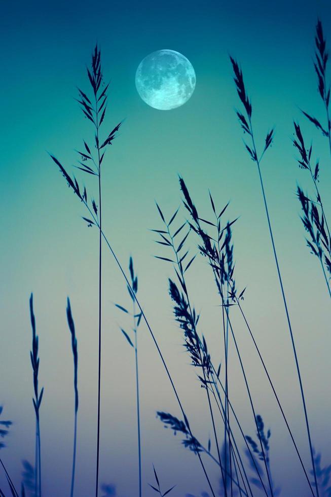 Luna y pastos en el jardín con tinte azul. foto