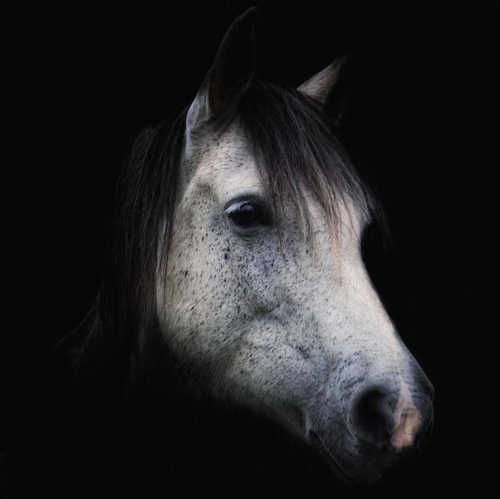 White horse portrait on black background photo