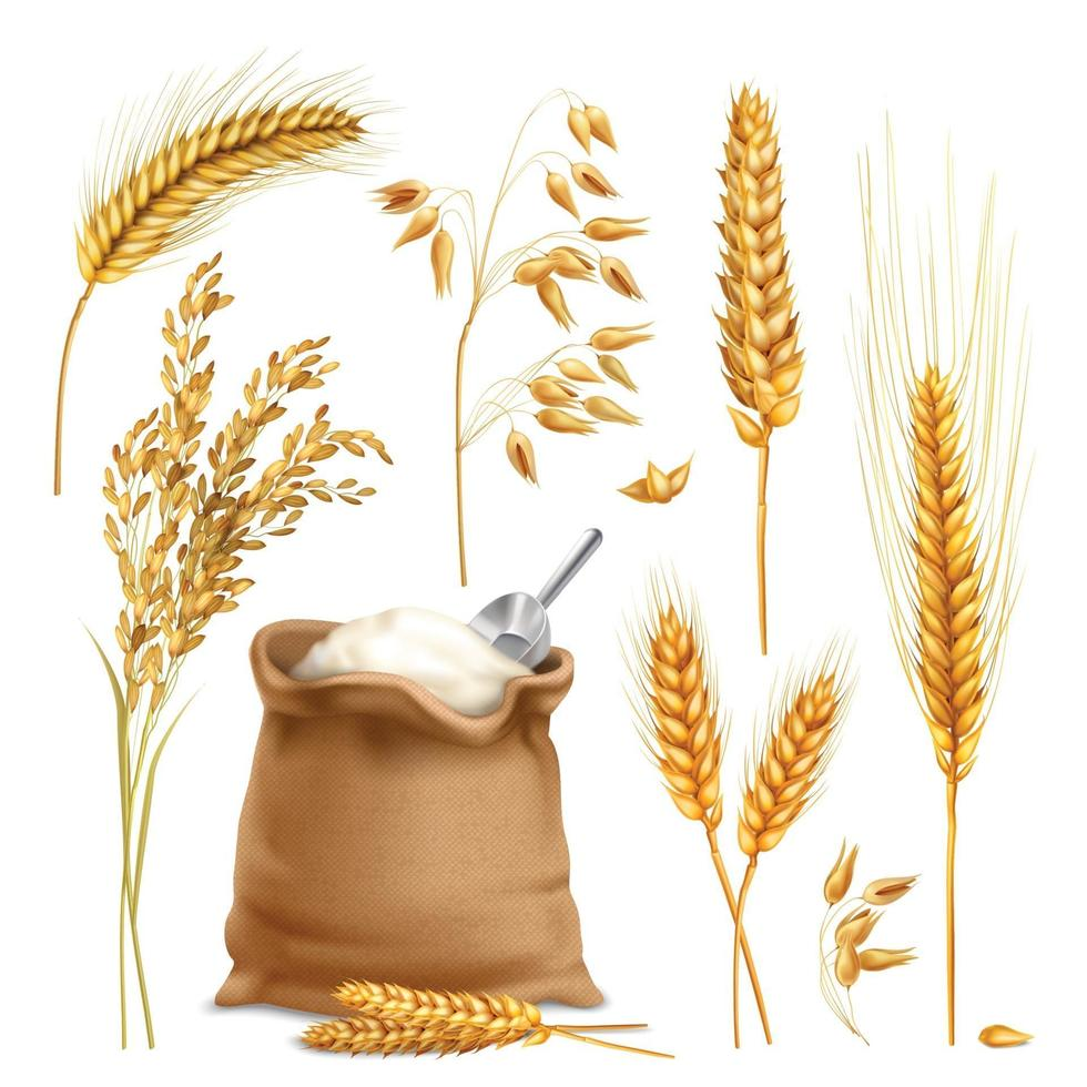 wheat barley oats rice cereals realistic vector