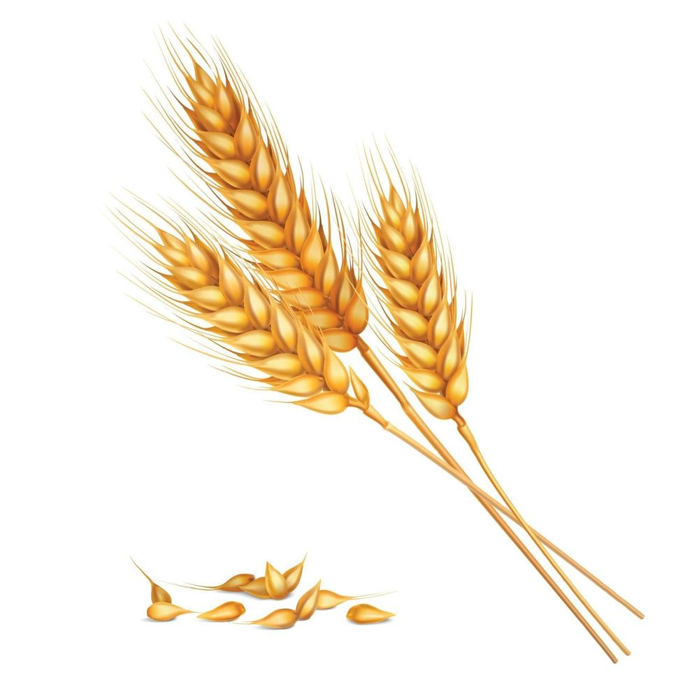 wheat realistic composition vector