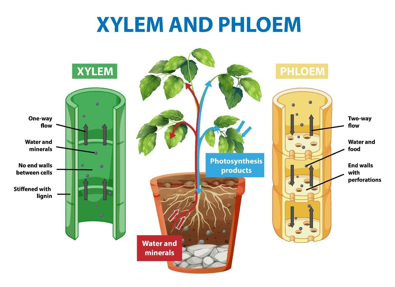 Diagram showing xylem and phloem of plant vector