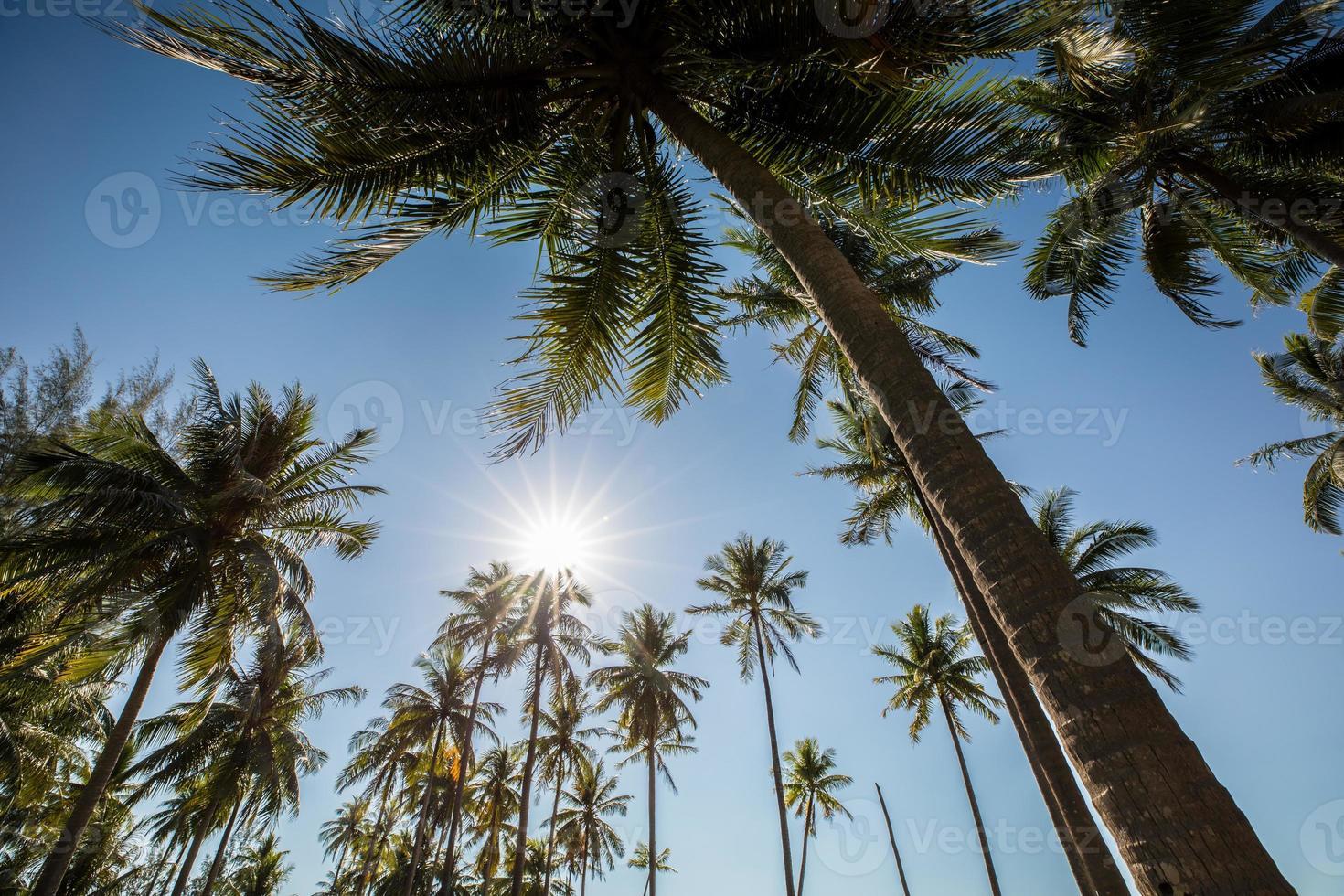 cocoteros y cielo azul foto
