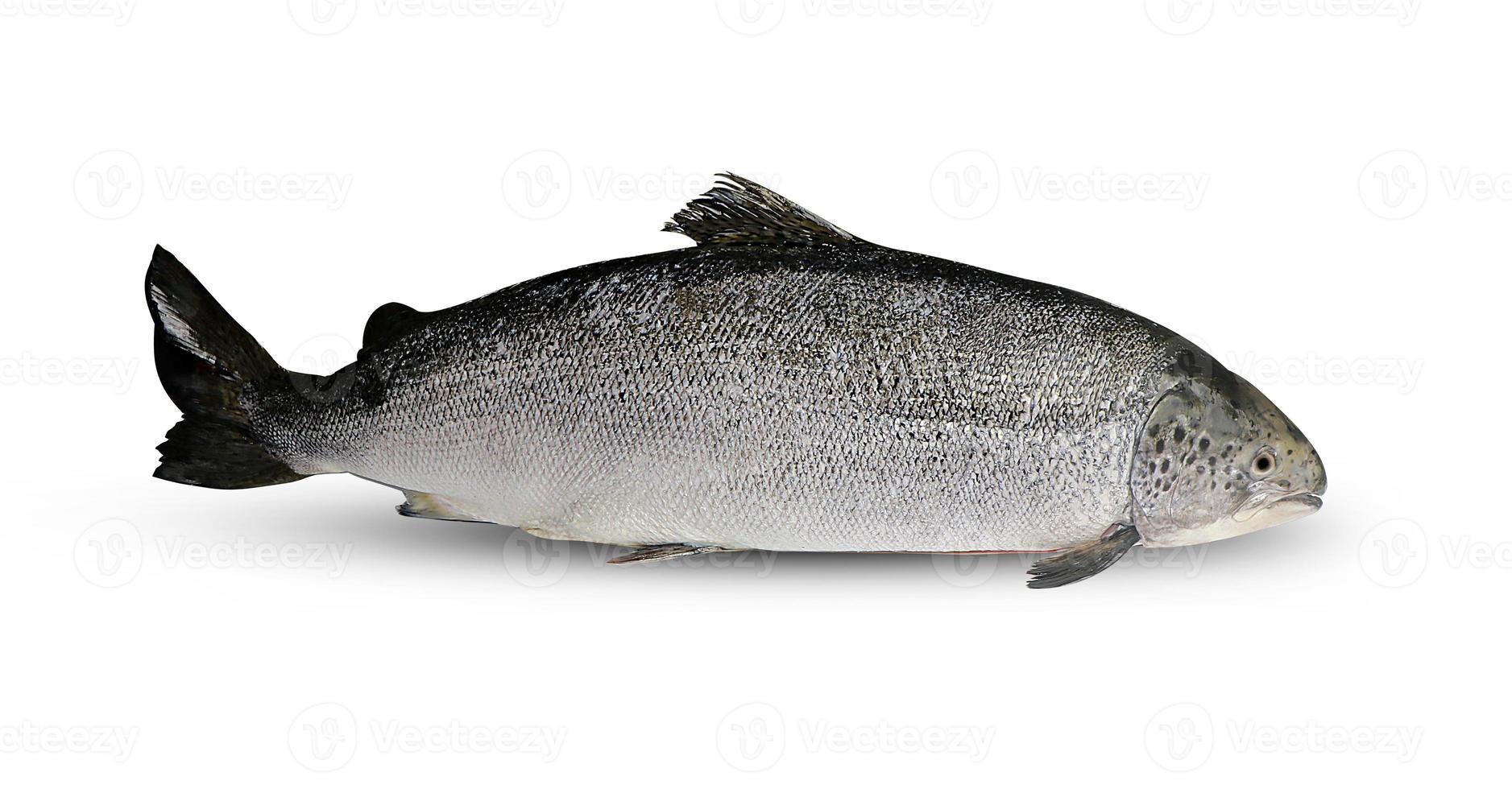 Salmon fish on white background photo