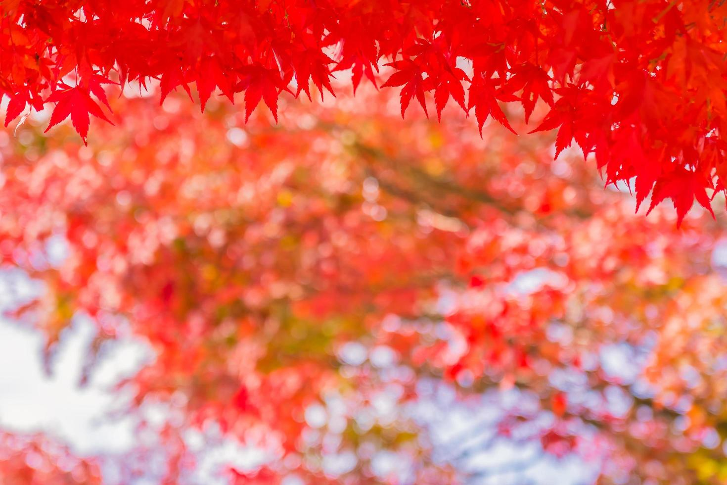 Beautiful red maple leaves photo