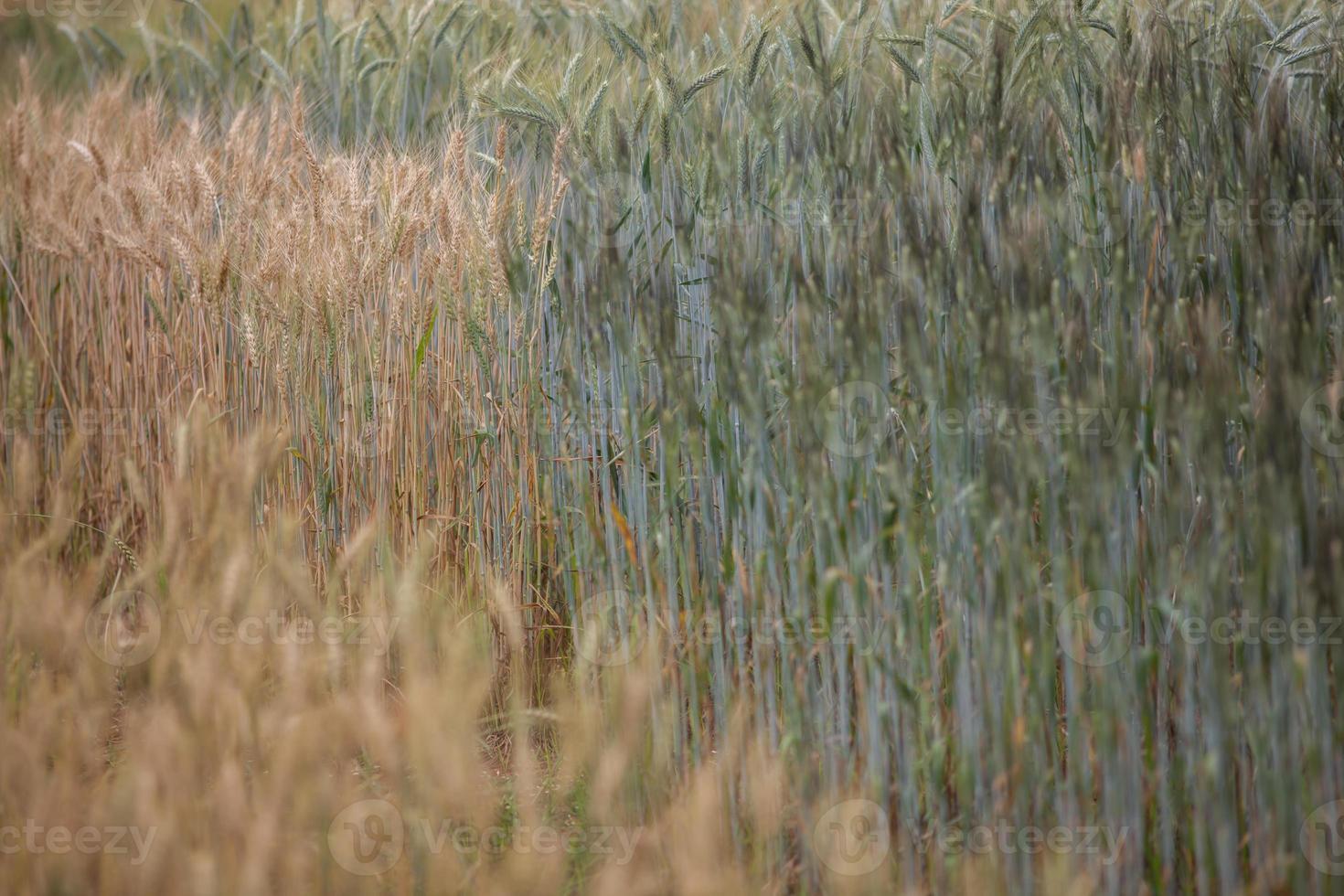 cebada creciendo en un campo foto