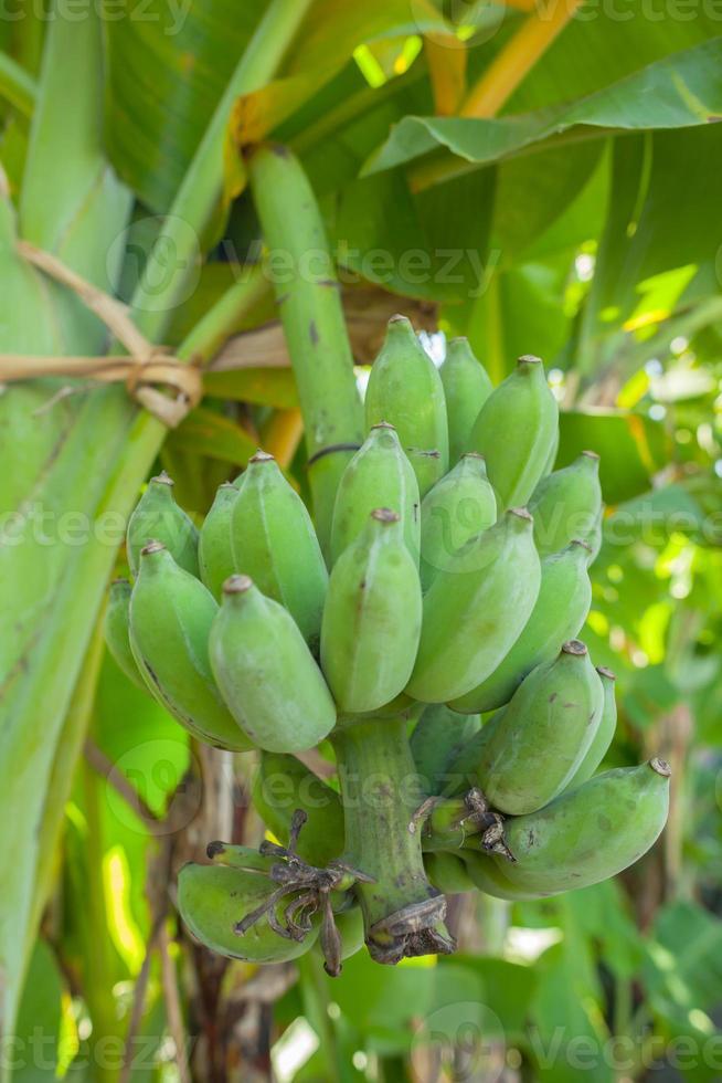plátanos verdes inmaduros en la selva foto