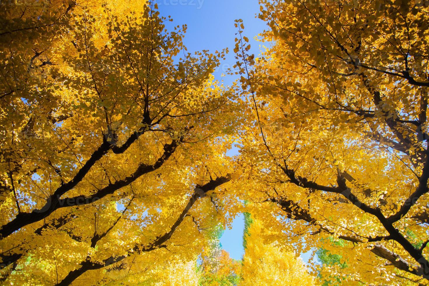 árboles amarillos contra un cielo azul foto