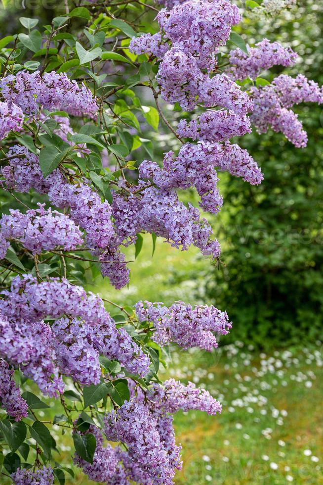 Exuberante arbusto lila en flor púrpura en verano en Letonia foto