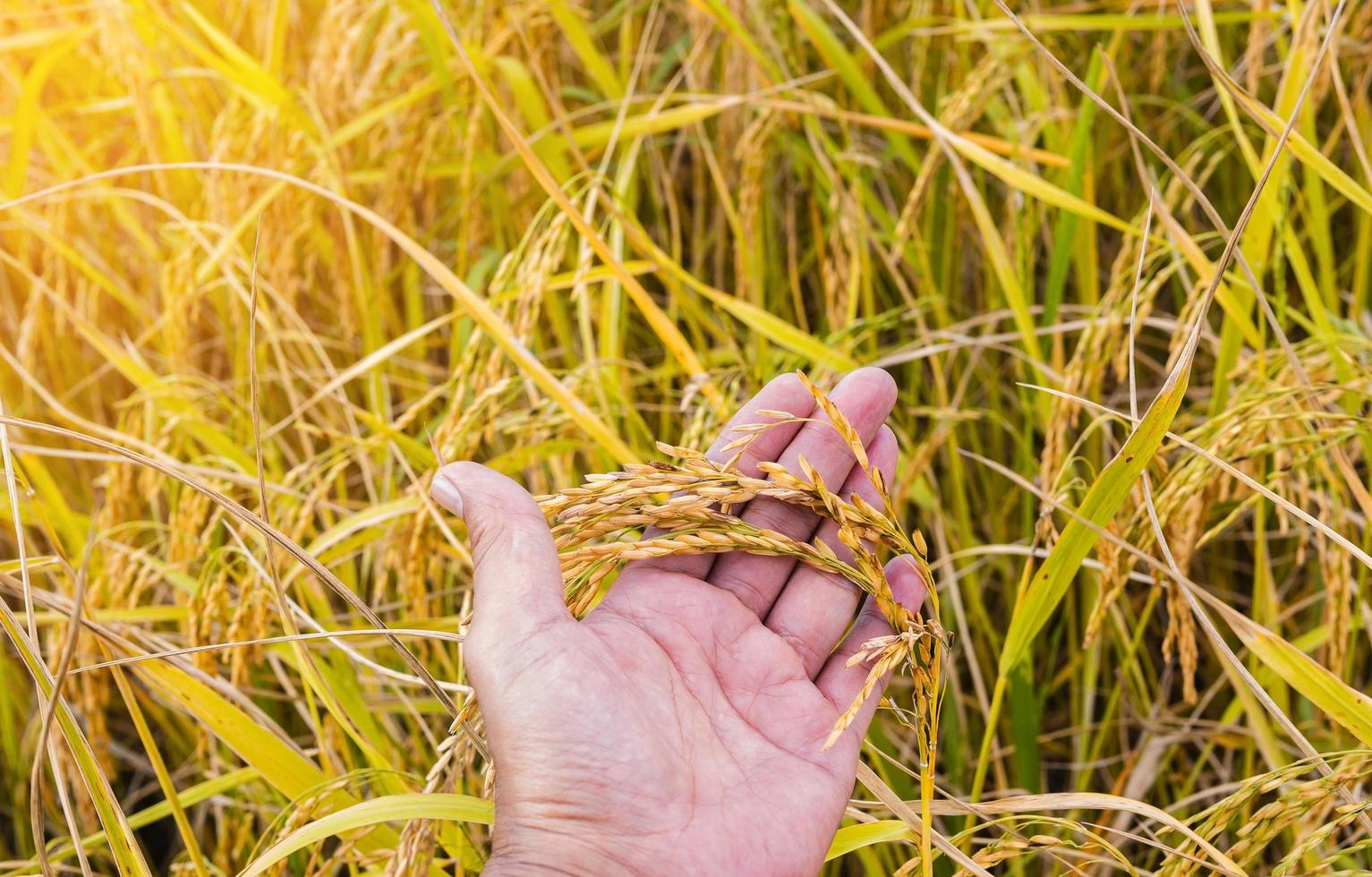 Hand holding stalk of golden rice in a field photo