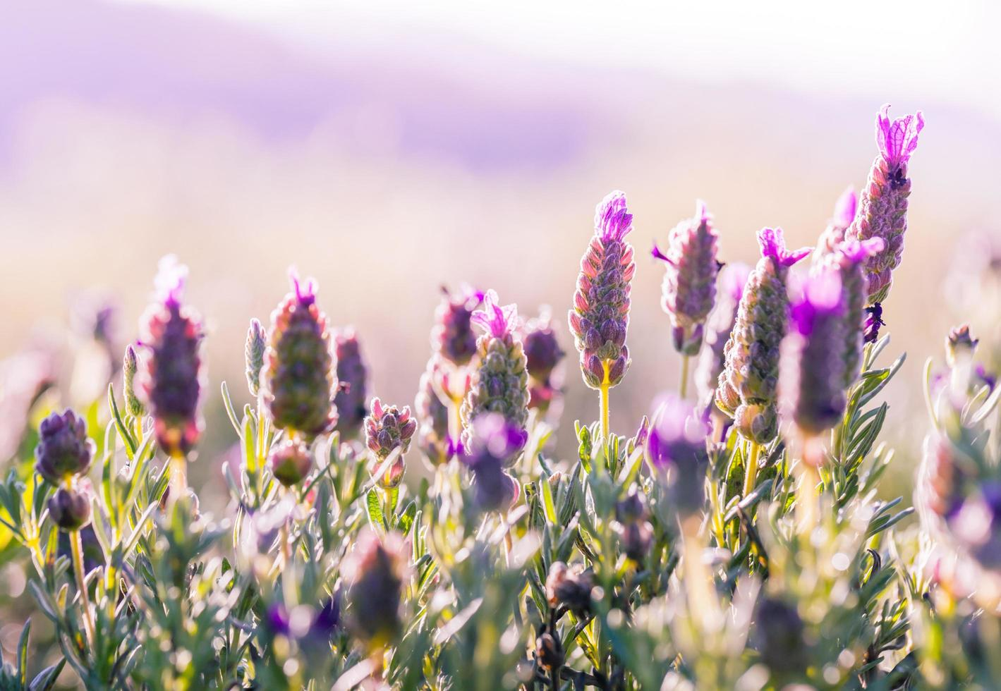Violet flowers field photo