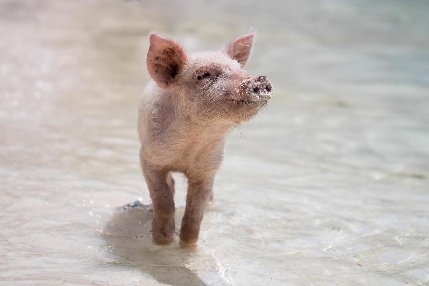 Piglet playing in water photo