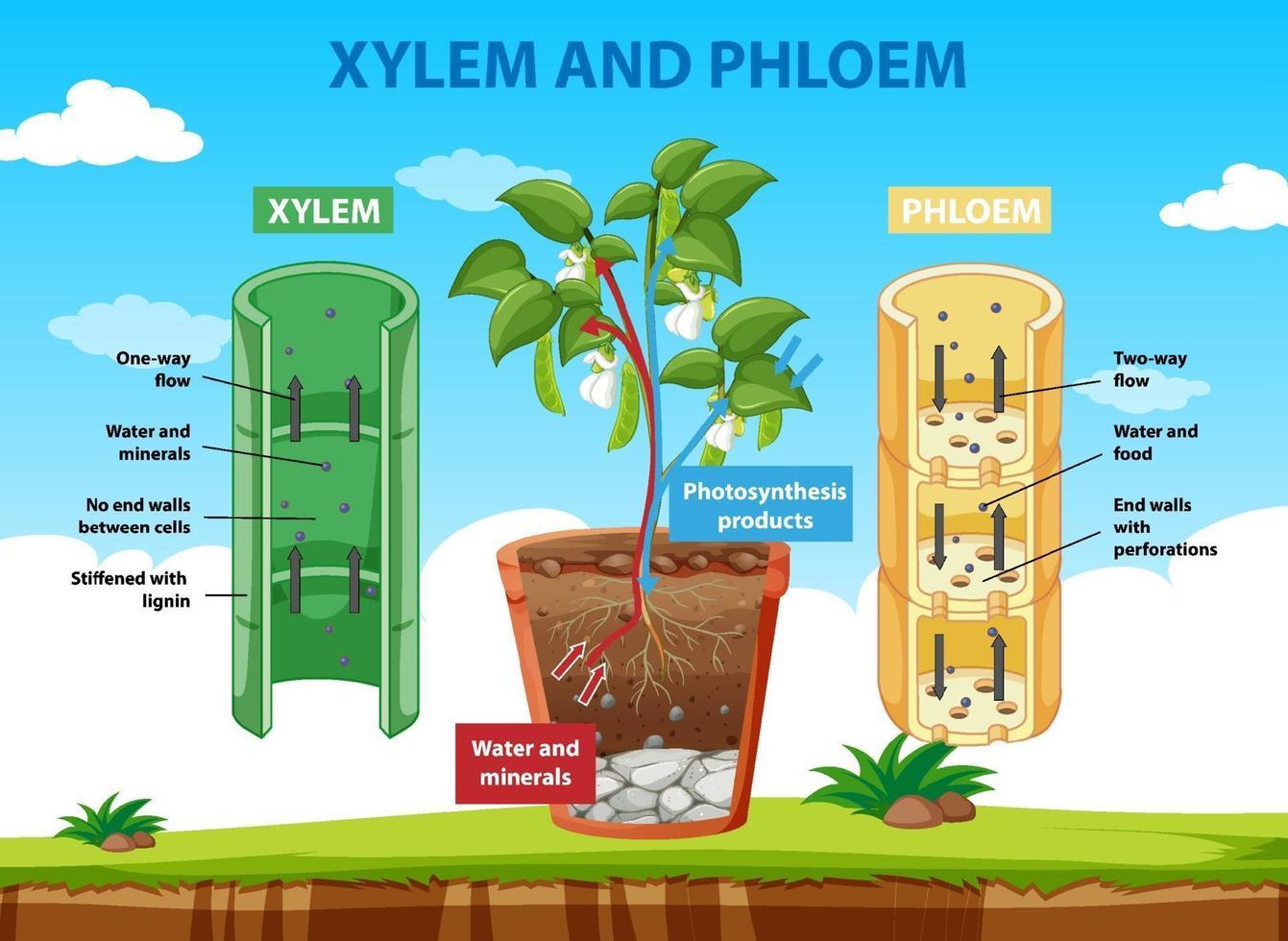 Diagrama que muestra el xilema y el floema de la planta. vector