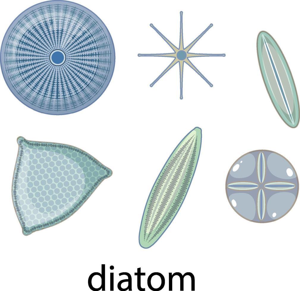 Conjunto de iconos de diatomeas aislado sobre fondo blanco. vector