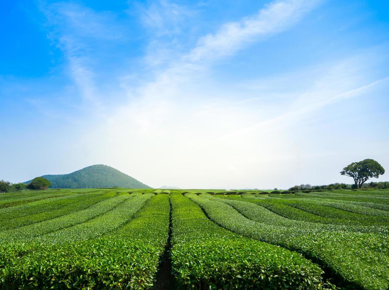 Beautiful view of green tea field with sky at Jeju, South Korea photo
