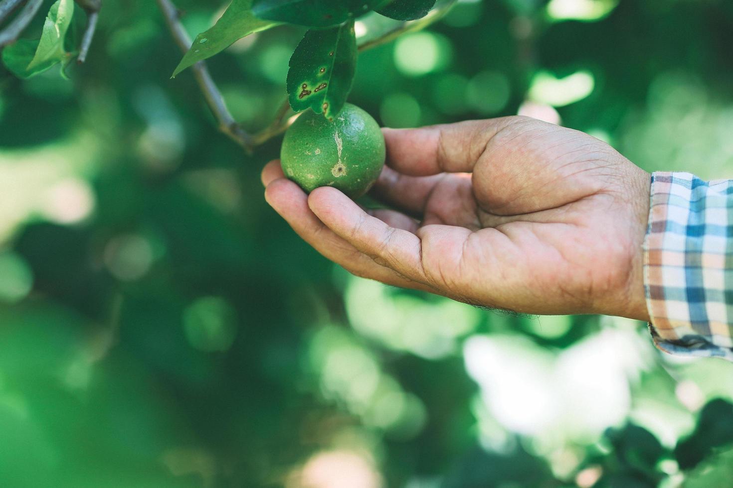 El jardinero recogiendo limones en el jardín. foto