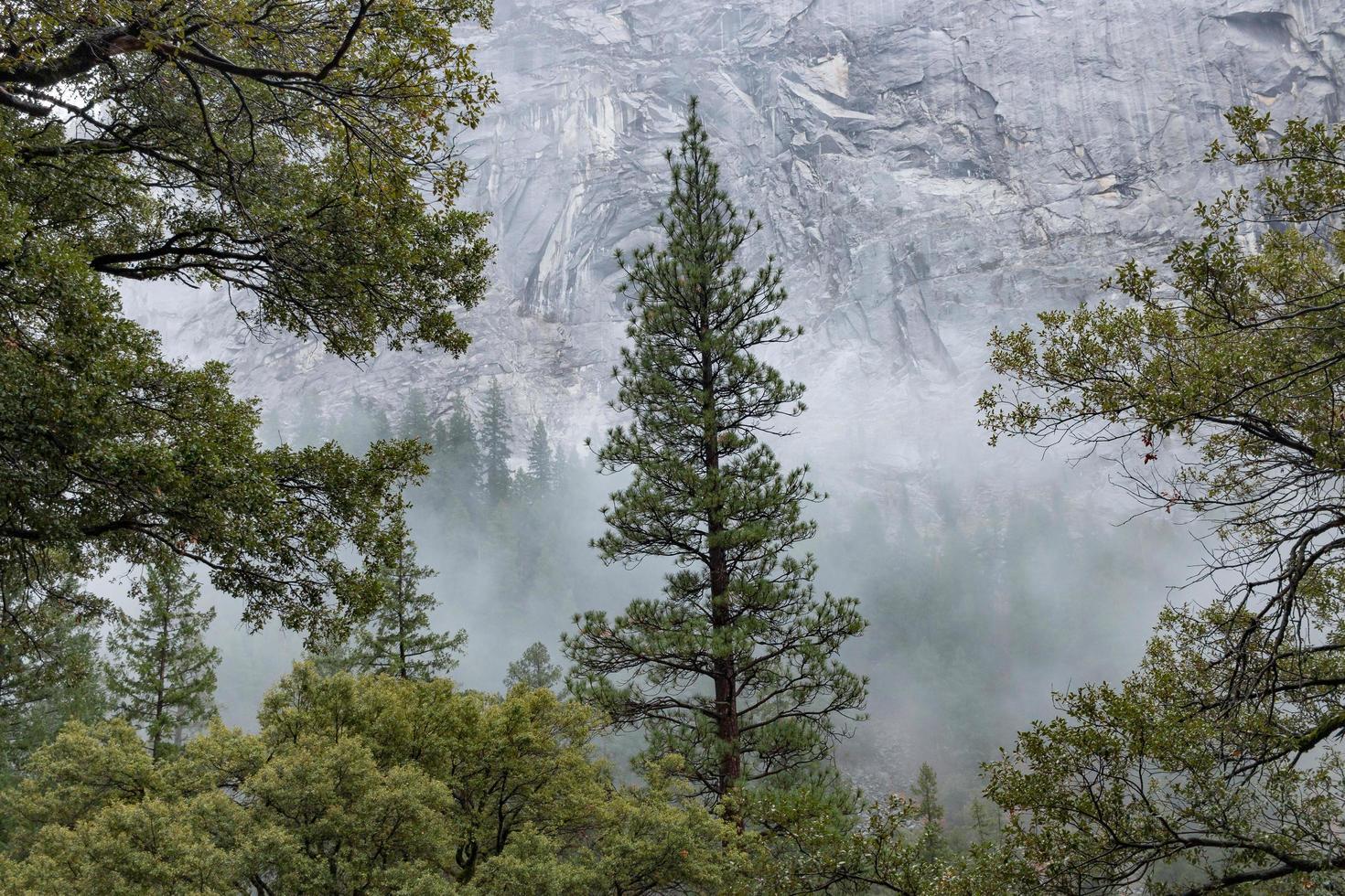 Evergreen against foggy mountain photo