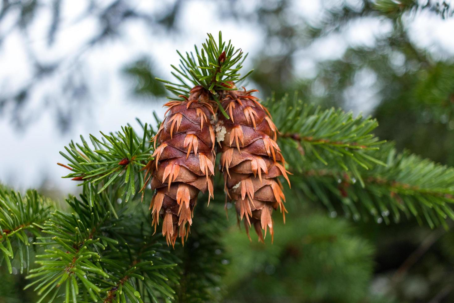 Pinecones on evergreen branch photo