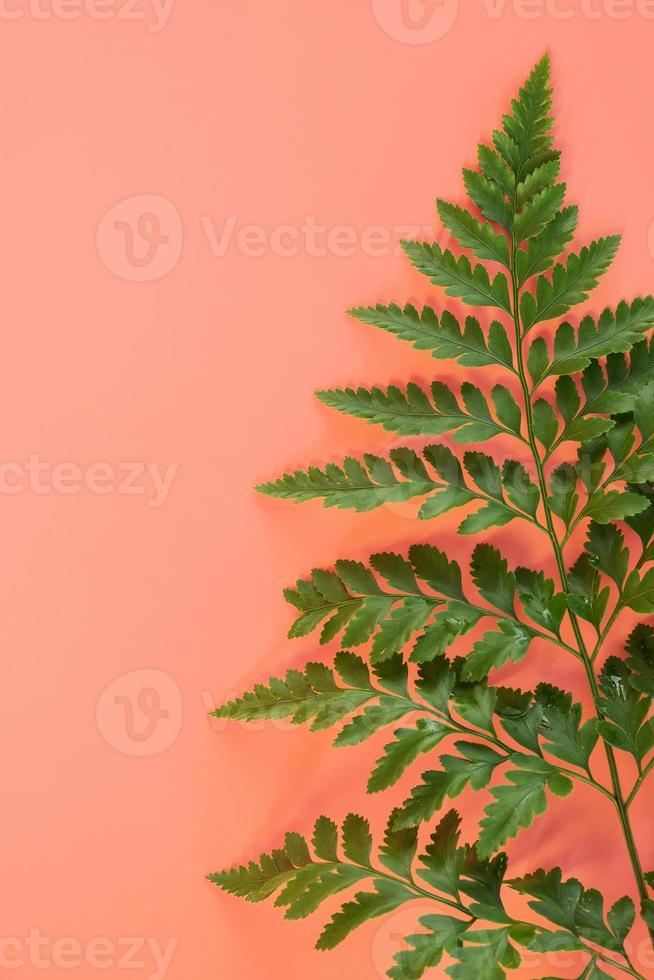 hojas de helecho sobre fondo rosa foto