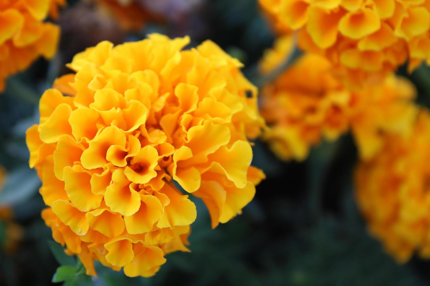 Macro cerca de flores de caléndula naranja y amarilla en flor en primavera foto