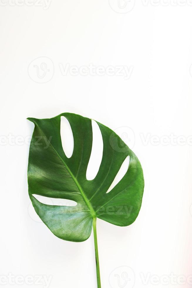 hojas de monstera sobre fondo blanco foto