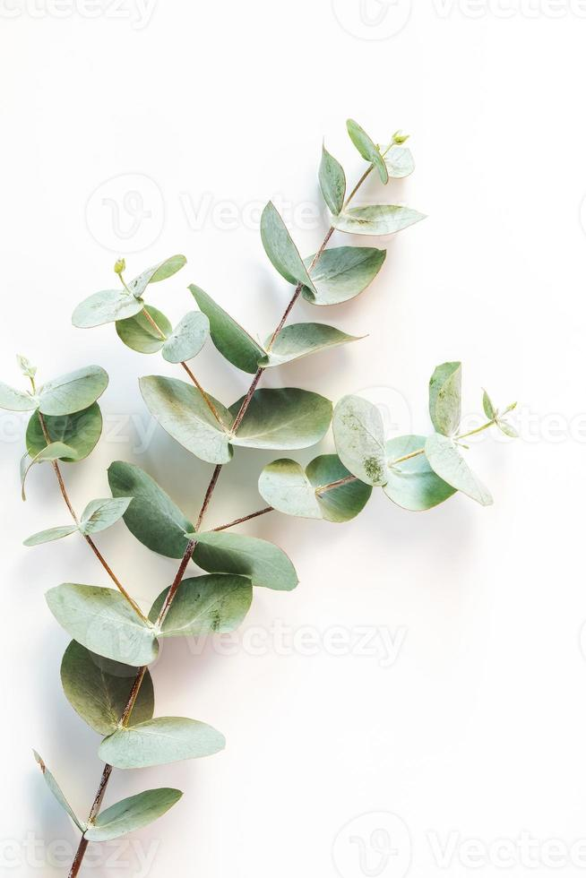 hojas de eucalipto sobre fondo blanco foto