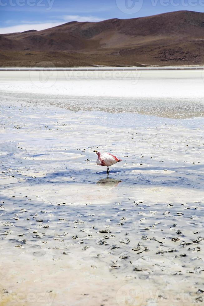 flamingo en laguna hedionda en bolivia foto