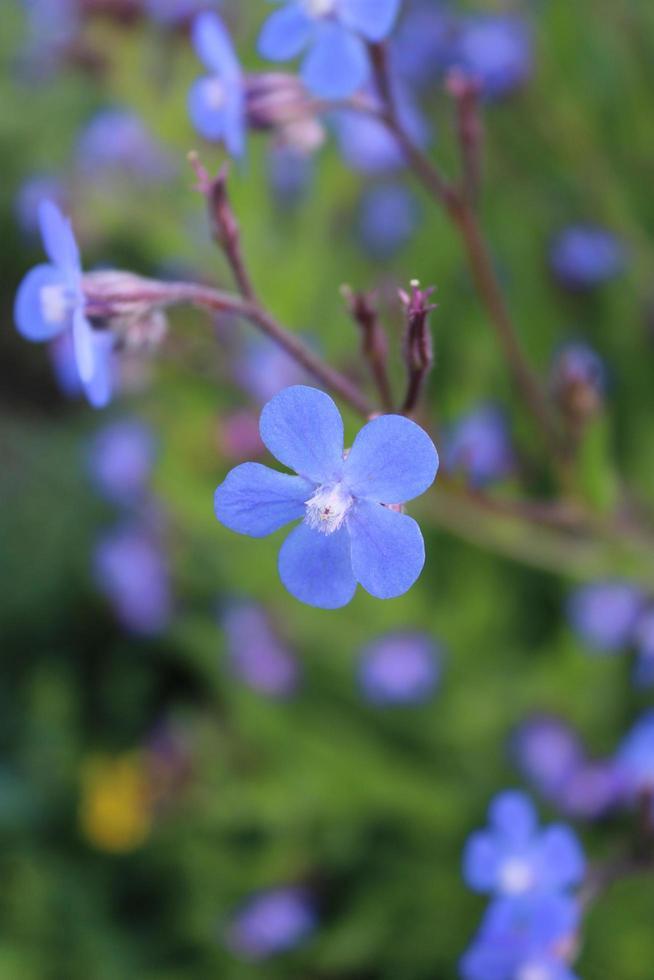 Macro cerca de un alkanet italiano azul en flor durante la primavera foto
