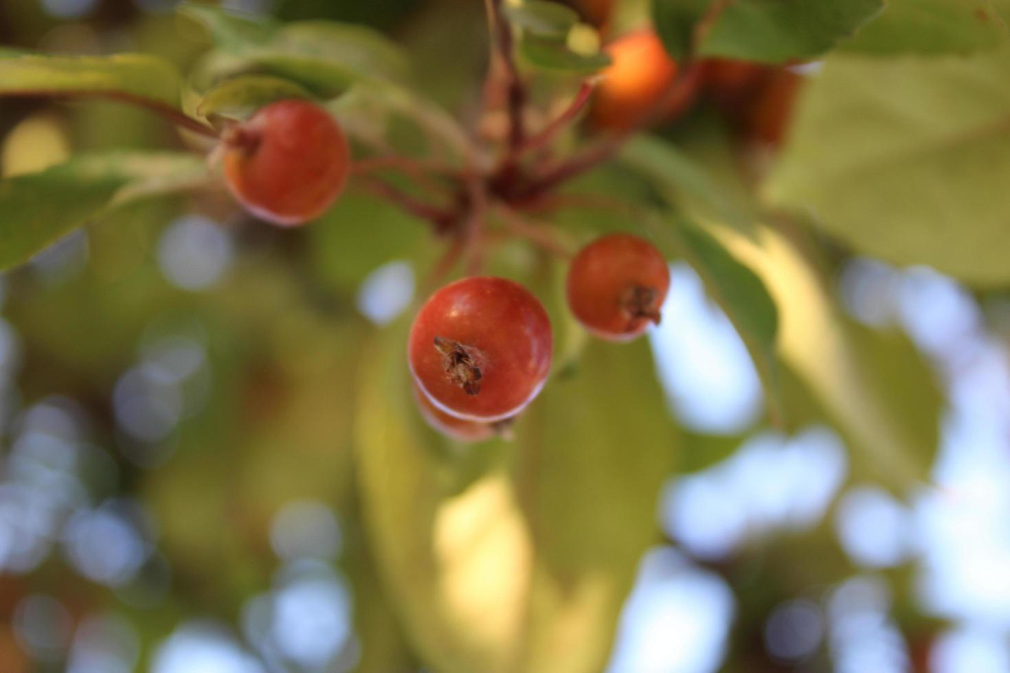Frutos de manzano silvestre con detalles macro foto