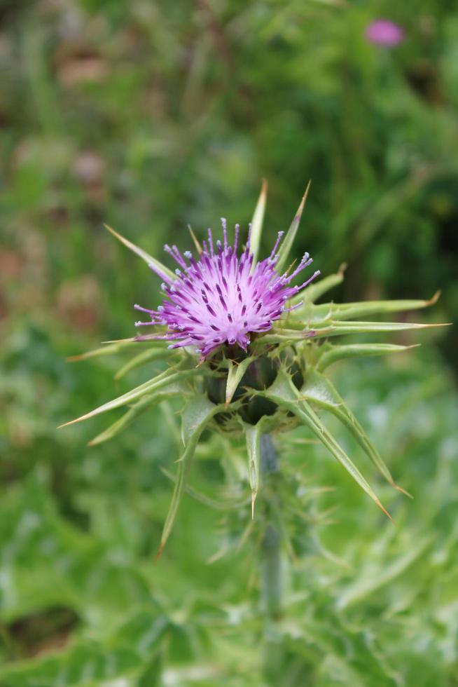 Macro cerca de un cardo estrella púrpura en su entorno natural foto