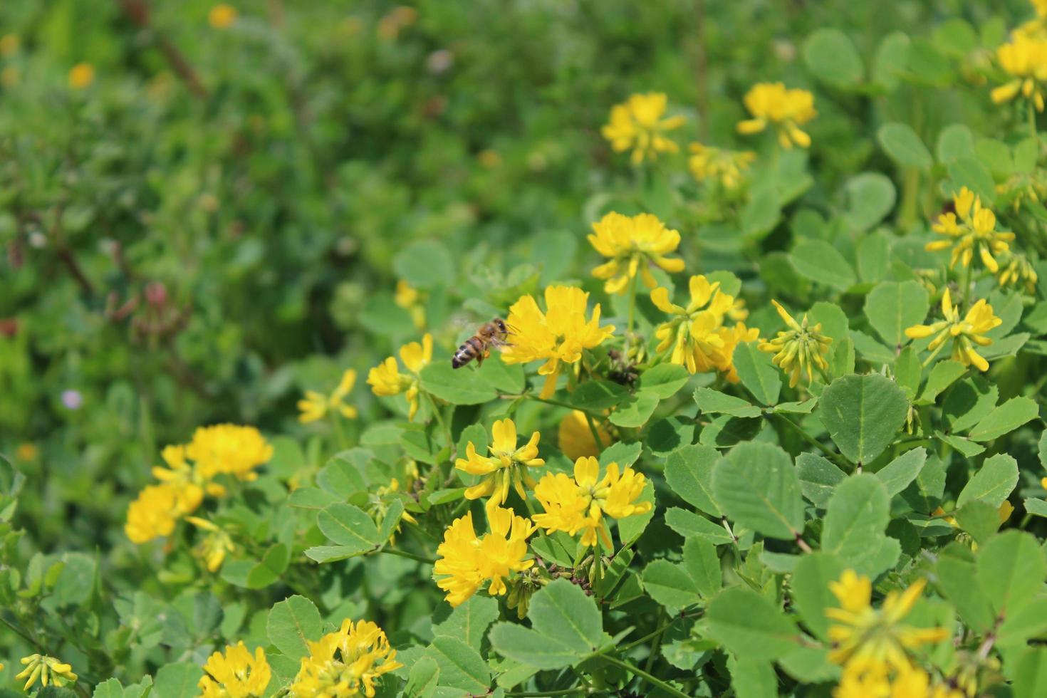 Macro de cerca de trébol delgado o Trifolium micranthum con flores amarillas foto