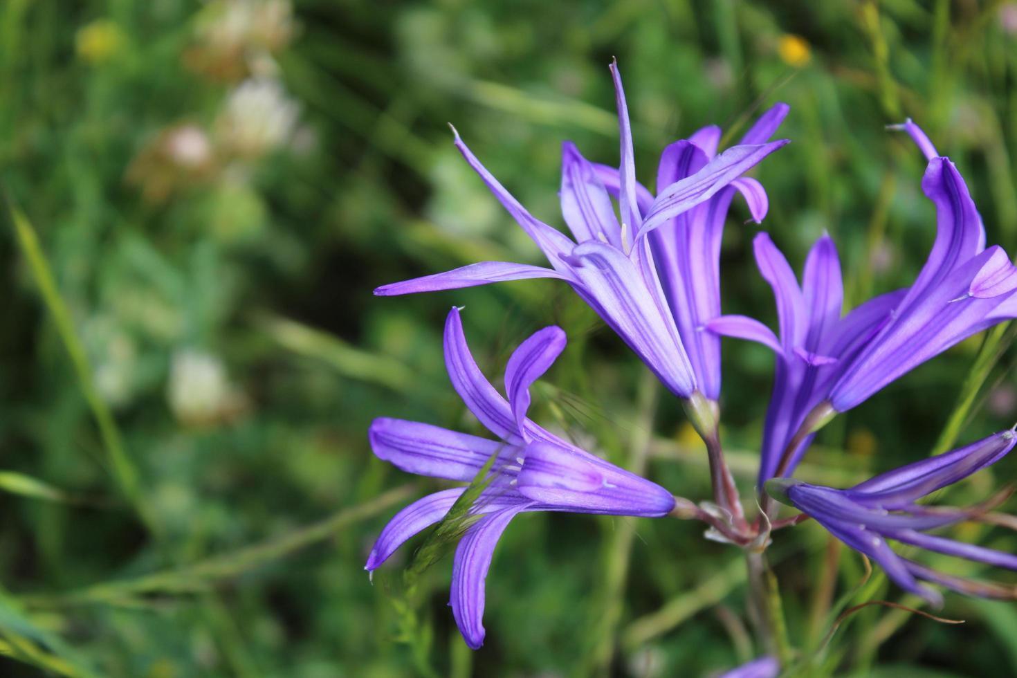 Macro cerca de flores de lirio siberiano púrpura en la primavera foto