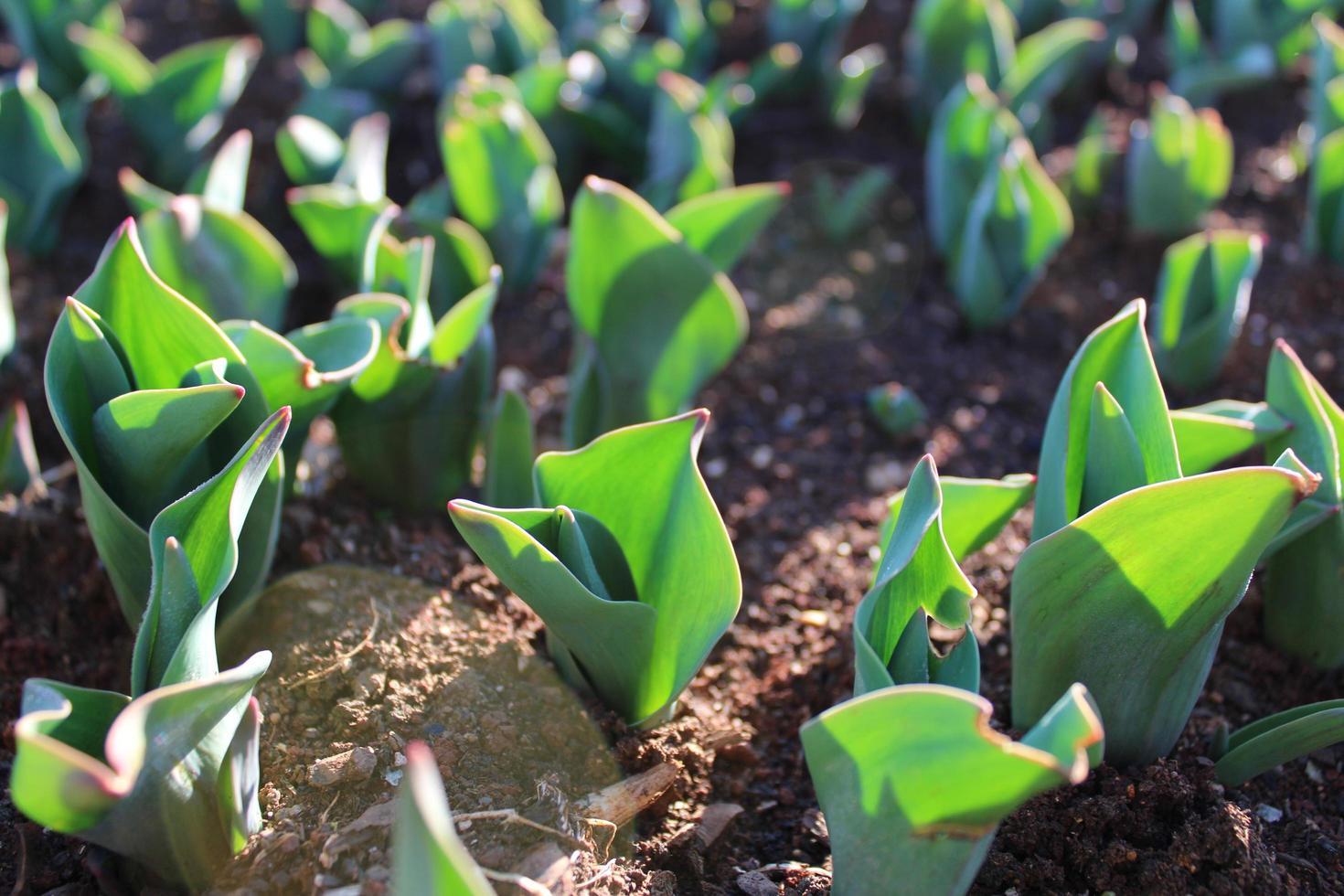 brotes de plantas y plantas jóvenes con detalles macro foto