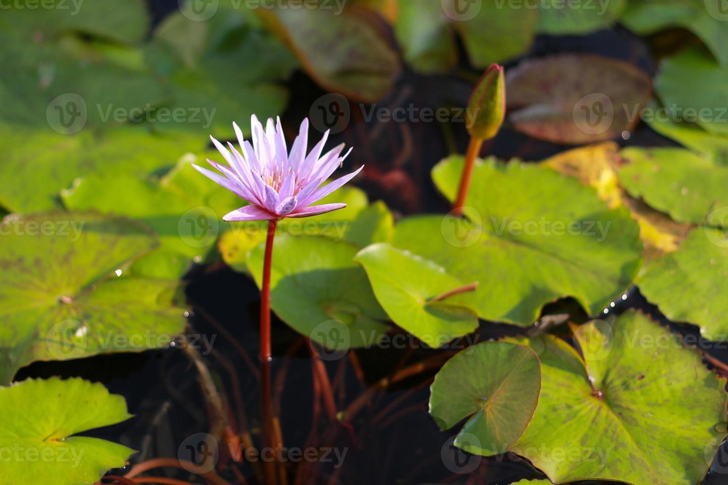 flor de loto rosa que florece en la piscina foto