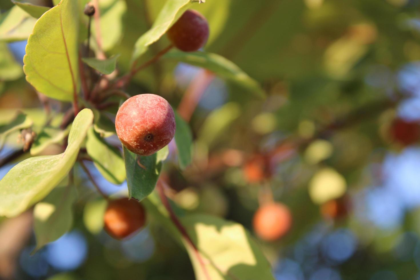 Crabapple fruits with macro details photo