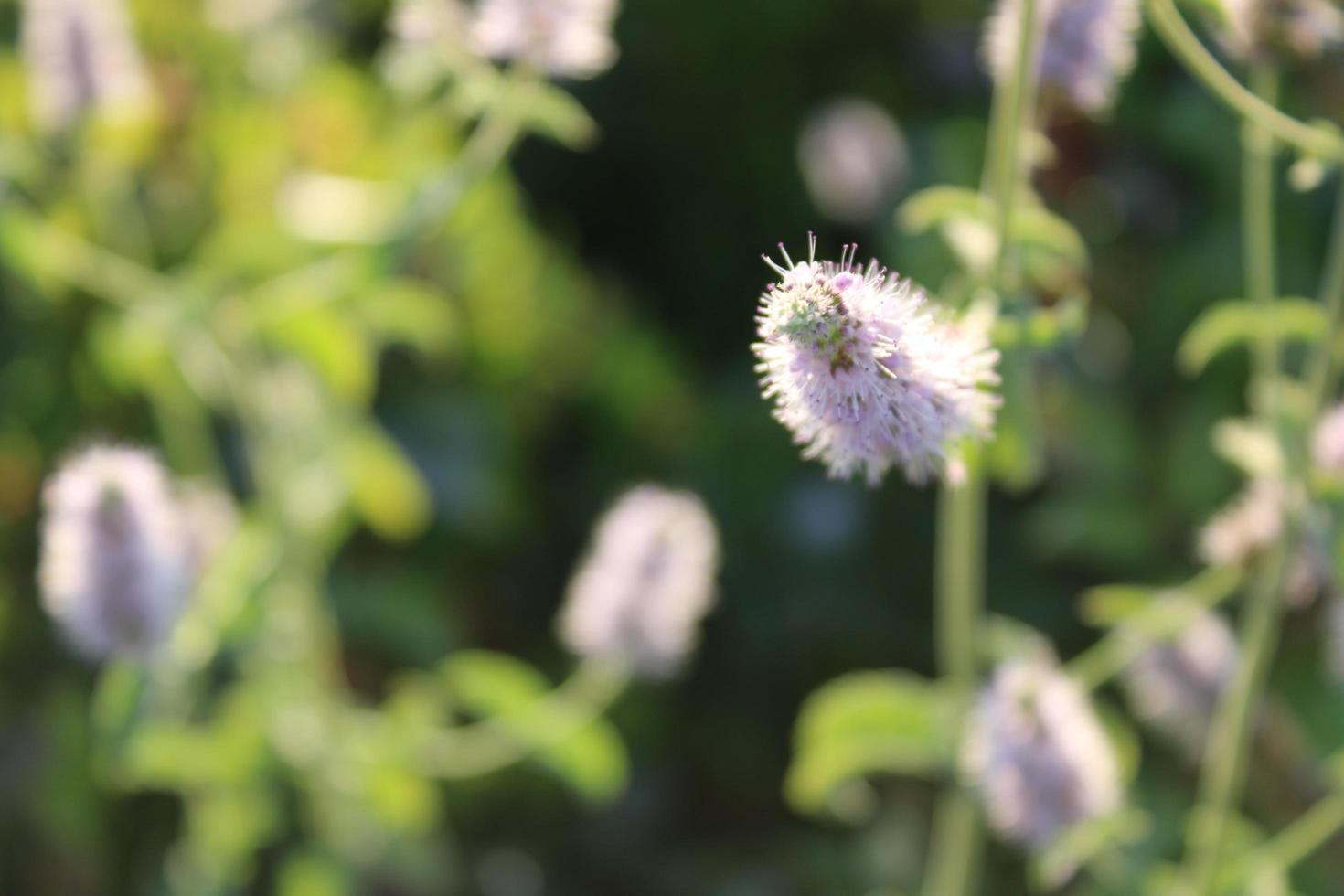 Planta de lavanda en primavera con detalles macro foto