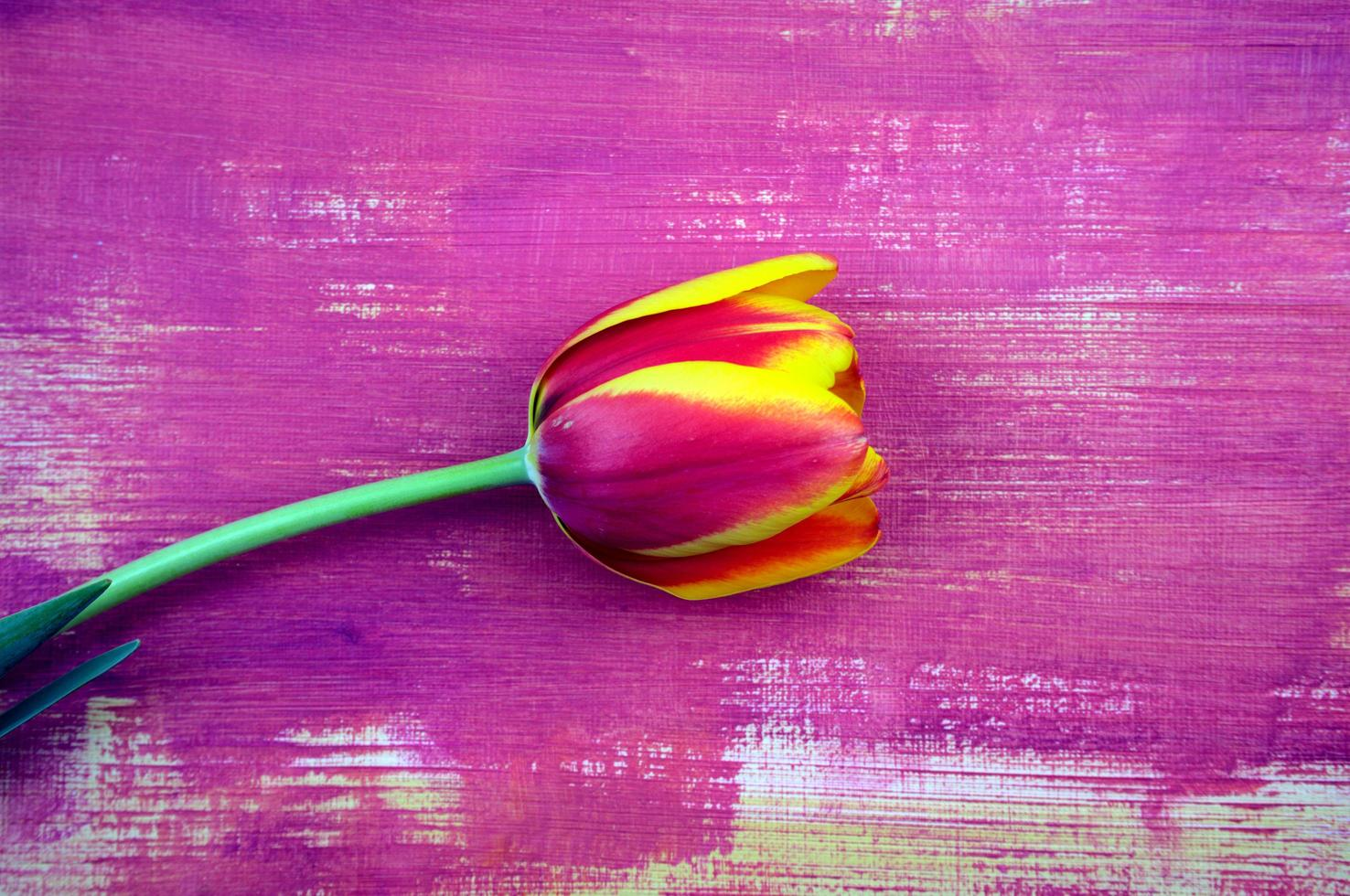 Purple, red magenta tulip flat lay on handmade, hand-drawn purple brush grunge color abstract acrylic texture background photo