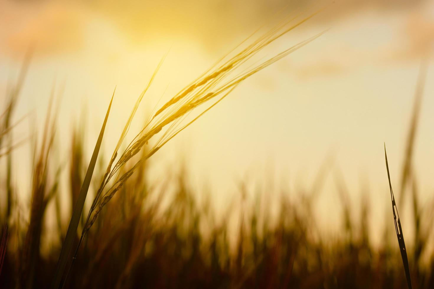 Wheat plant in the sunset photo