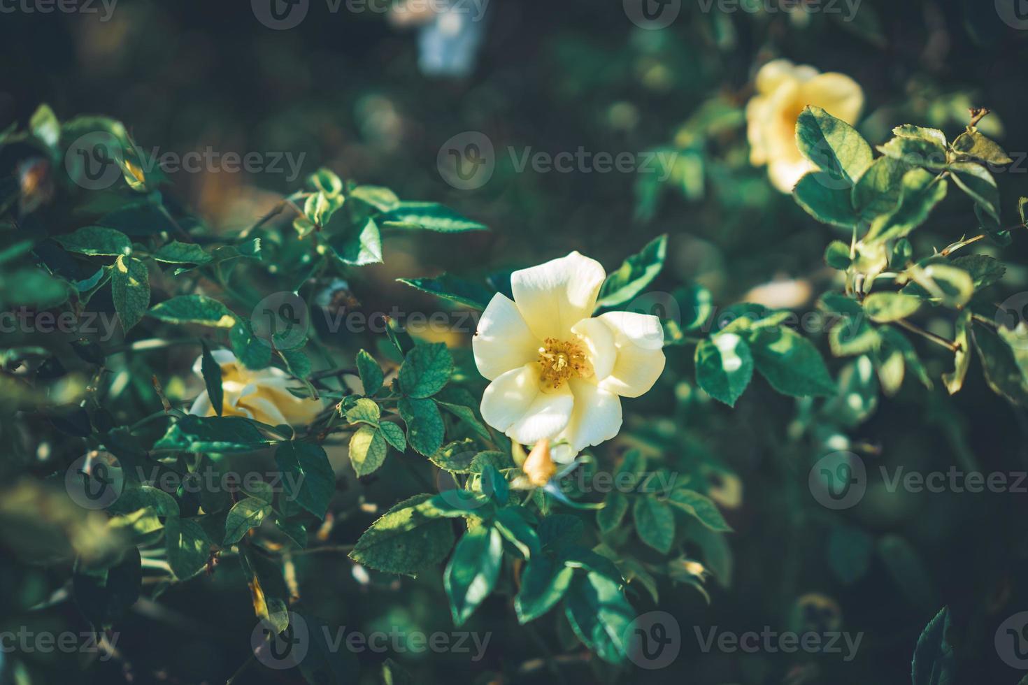 flores de mini rosales foto