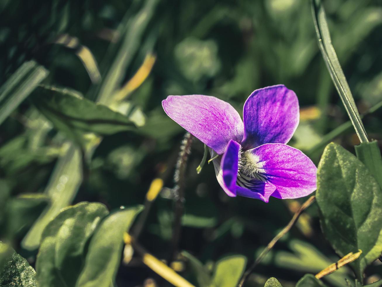 una sola flor violeta entre plantas verdes foto