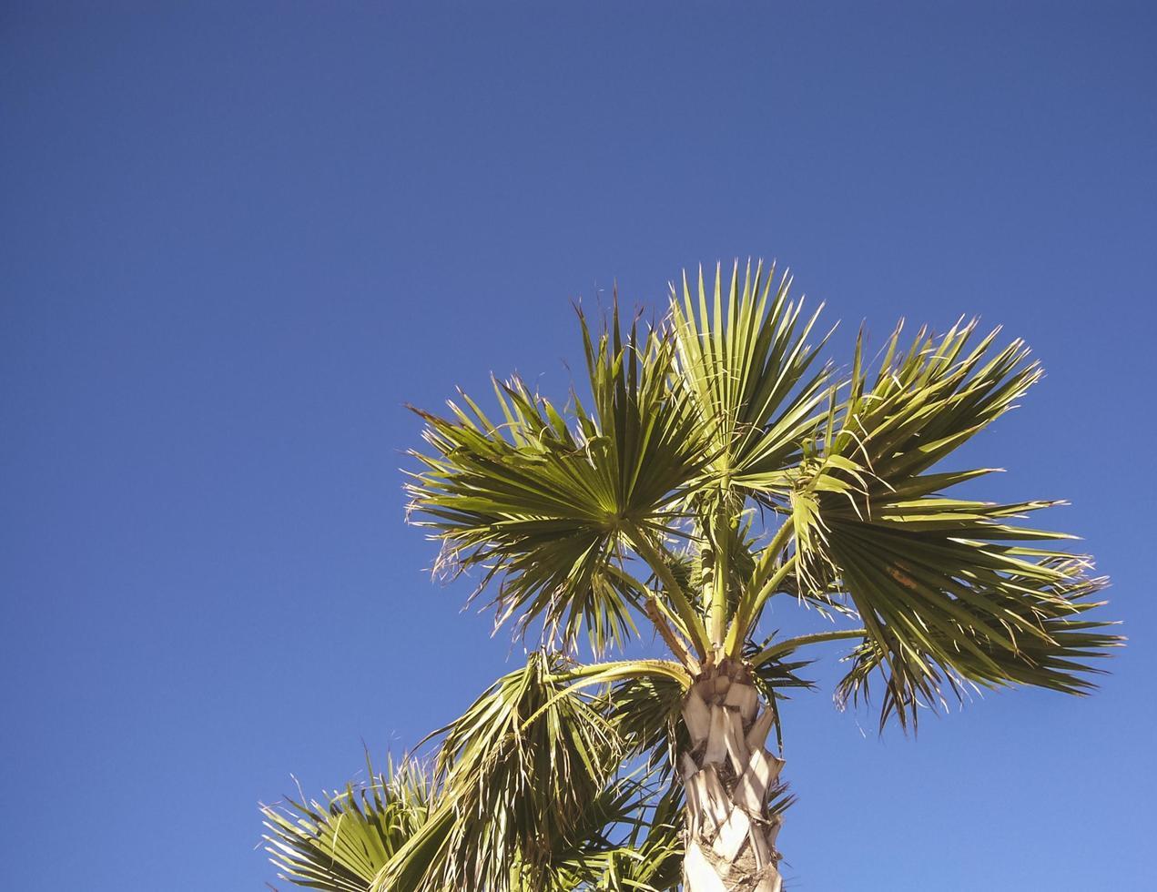 palmera bajo un cielo azul claro foto